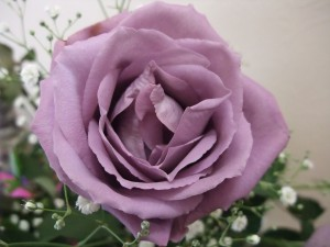 GMO Rose: Blue Rose APPLAUSECC0 Blue Rose Man - 本人購入物撮影